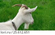 Купить «Goat on green meadow», видеоролик № 25612651, снято 3 февраля 2012 г. (c) Андрей Зык / Фотобанк Лори