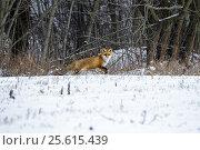 Red Fox in a Winter Forest. Стоковое фото, фотограф Sergii Zarev / Фотобанк Лори