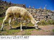 Белая лама на террасе в Мачу-Пикчу. Перу. (2016 год). Редакционное фото, фотограф AK Imaging / Фотобанк Лори