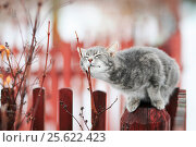 Sweet tabby cat fondled on a branch in spring on a fence in the village. Стоковое фото, фотограф Бачкова Наталья / Фотобанк Лори