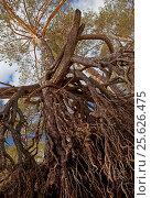 Сосна от корней до макушки. Стоковое фото, фотограф Сергей Панкин / Фотобанк Лори