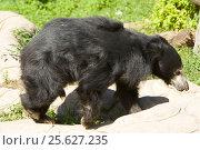 Купить «Indian Sloth bear, медведь губач, Московский зоопарк», фото № 25627235, снято 16 августа 2013 г. (c) ИВА Афонская / Фотобанк Лори