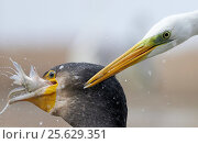 Купить «Cormorant (Phalacrocorax carbo) and Great white egret (Egretta alba) fighting over fish catch, Hungary, January», фото № 25629351, снято 16 декабря 2018 г. (c) Nature Picture Library / Фотобанк Лори