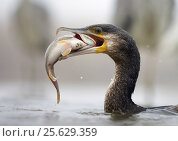 Купить «Cormorant (Phalacrocorax carbo) with caught fish in beak, Hungary January», фото № 25629359, снято 16 декабря 2018 г. (c) Nature Picture Library / Фотобанк Лори