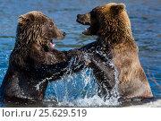 Дикие медведи играют друг с другом в озере в Камчатком крае в Кроноцком заповеднике, Россия (2016 год). Редакционное фото, фотограф Николай Винокуров / Фотобанк Лори