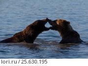 Купить «Two wild bears play in water in their natural habitat», фото № 25630195, снято 1 сентября 2016 г. (c) Николай Винокуров / Фотобанк Лори