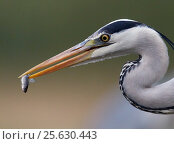 Купить «Grey heron (Ardea cinerea) about to feed on fish, Hungary May», фото № 25630443, снято 5 июля 2020 г. (c) Nature Picture Library / Фотобанк Лори