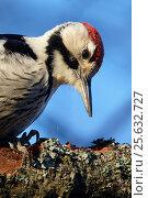 Купить «White-backed woodpecker (Dendrocopos leucotos) male portrait, Kotka Finland January», фото № 25632727, снято 14 декабря 2017 г. (c) Nature Picture Library / Фотобанк Лори