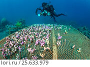 Купить «A diver (Eleonora Manca) examines a coral propagation table with cuttings of (Stylophora sp) Aqaba, Jordan. Gulf of Aqaba, Red Sea. Model Released», фото № 25633979, снято 6 июля 2020 г. (c) Nature Picture Library / Фотобанк Лори