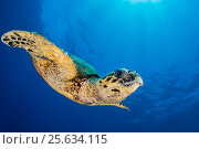 Купить «Hawksbill sea turtle (Eretmochelys imbricata) descends through blue water. Abu Nuhas, Egypt. Strait of Gubal, Gulf of Suez, Red Sea.», фото № 25634115, снято 31 мая 2020 г. (c) Nature Picture Library / Фотобанк Лори