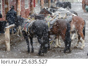 Купить «Horses tethered in snow, Torres del Paine, Patagonia,  Puerto Natales, Chile. April.», фото № 25635527, снято 16 августа 2018 г. (c) Nature Picture Library / Фотобанк Лори