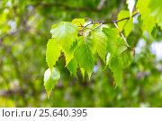 Купить «Береза в мае. Молодые березовые листья, весна», фото № 25640395, снято 11 мая 2014 г. (c) Дудакова / Фотобанк Лори