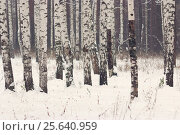 Зимний березовый лес. Стоковое фото, фотограф Olga Far / Фотобанк Лори