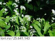 Купить «Дикий цветущий чеснок», фото № 25641143, снято 15 мая 2016 г. (c) Татьяна Кахилл / Фотобанк Лори