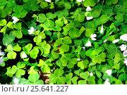 Купить «Заячья  капуста или кислица», фото № 25641227, снято 15 мая 2016 г. (c) Татьяна Кахилл / Фотобанк Лори