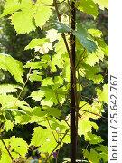 Купить «Виноградная лоза», эксклюзивное фото № 25642767, снято 29 июля 2012 г. (c) Алёшина Оксана / Фотобанк Лори