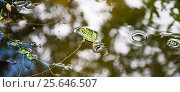 Зелёная прудовая, озёрная лягушка (Pelophylax lessonae) Стоковое фото, фотограф Алёшина Оксана / Фотобанк Лори