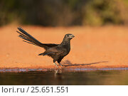 Купить «Groove-billed ani (Crotophaga sulcirostris), adult drinking, Rio Grande Valley, South Texas, Texas, USA. June», фото № 25651551, снято 21 января 2018 г. (c) Nature Picture Library / Фотобанк Лори
