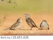 Купить «House Sparrow (Passer domesticus), female feeding young, Rio Grande Valley, South Texas, Texas, USA. May», фото № 25651635, снято 15 декабря 2017 г. (c) Nature Picture Library / Фотобанк Лори