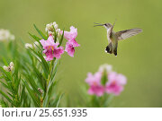 Купить «Ruby-throated hummingbird (Archilochus colubris), female in flight feeding on blooming Desert willow (Chilopsis linearis), Hill Country, Texas, USA. August», фото № 25651935, снято 21 августа 2018 г. (c) Nature Picture Library / Фотобанк Лори