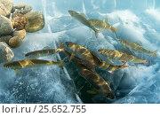 Graylings (Thymallus)  and Lenok (Brachymystax) Lake Baikal, Siberia, Russia. April., фото № 25652755, снято 20 сентября 2017 г. (c) Nature Picture Library / Фотобанк Лори