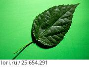 Зелёный лист растения на зелёном фоне. Стоковое фото, фотограф V.Ivantsov / Фотобанк Лори