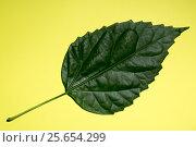 Зелёный лист растения на жёлтом фоне. Стоковое фото, фотограф V.Ivantsov / Фотобанк Лори