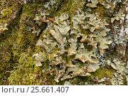 Купить «Foliose lichen (Lobaria scrobiculata) on birch bark. Sensitive to pollution. Drumnadrochit, Inverness, Scotland», фото № 25661407, снято 20 марта 2019 г. (c) Nature Picture Library / Фотобанк Лори