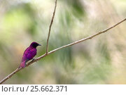 Купить «Violet-backed starling (Cinnyricinclus leucogaster) male perched, Gambia, Africa, May.», фото № 25662371, снято 20 мая 2019 г. (c) Nature Picture Library / Фотобанк Лори