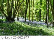 Весенний лес с цветущими голубыми колокольчиками, фото № 25662847, снято 15 мая 2016 г. (c) Татьяна Кахилл / Фотобанк Лори