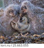 Купить «Horned owl (Bubo virginianus) parent with sleepy chicks, Santa Catalina Mountain Foothills, Sonoran Desert,Arizona, USA, April.», фото № 25663055, снято 21 июля 2018 г. (c) Nature Picture Library / Фотобанк Лори