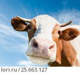 Купить «Любопытная корова (фокус на носу) на фоне синего неба с облаками», фото № 25663127, снято 12 октября 2013 г. (c) Екатерина Овсянникова / Фотобанк Лори