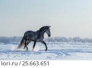 Купить «Серая лошадь гуляет зимой в поле», фото № 25663651, снято 22 января 2016 г. (c) Абрамова Ксения / Фотобанк Лори