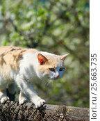 Купить «Кот идёт по забору», эксклюзивное фото № 25663735, снято 9 мая 2016 г. (c) Dmitry29 / Фотобанк Лори