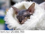 Купить «Домашняя кошка породы сфинкс на выставке кошек», фото № 25666783, снято 5 марта 2017 г. (c) Николай Винокуров / Фотобанк Лори