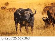 Купить «Male buffalo bull standing on dry grass plain», фото № 25667363, снято 19 августа 2015 г. (c) Сергей Новиков / Фотобанк Лори