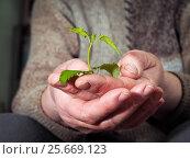Купить «Green plants in the working hands of an elderly woman», фото № 25669123, снято 17 июля 2018 г. (c) Ирина Козорог / Фотобанк Лори