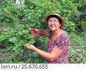 Купить «Женщина обрезает куст калины», фото № 25670655, снято 25 августа 2012 г. (c) Светлана Кириллова / Фотобанк Лори