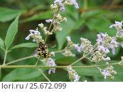 Купить «Пчела-шерстобит (лат. Anthidium manicatum) — вид перепончатокрылых насекомых из семейства мегахилид (Megachilidae) - собирает нектар на цветке», фото № 25672099, снято 1 июля 2012 г. (c) Наталья Гармашева / Фотобанк Лори