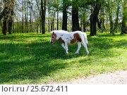 Жеребенок пони. Стоковое фото, фотограф Алексей Аскаров / Фотобанк Лори
