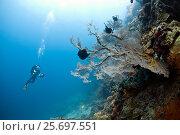 Купить «Diver with sea fan, Mopsella sp, Menjangan, Bali, Indonesia, Asia», фото № 25697551, снято 29 марта 2014 г. (c) mauritius images / Фотобанк Лори