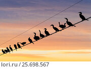 Купить «Flock of Neotropic cormorants ( (Phalacrocorax brasilianus) on wire at sunset, Cibola National Wildlife Refuge, Arizona, USA. November.», фото № 25698567, снято 30 марта 2020 г. (c) Nature Picture Library / Фотобанк Лори