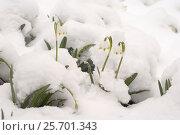 Купить «Распустившиеся подснежники под снегом», эксклюзивное фото № 25701343, снято 20 февраля 2018 г. (c) Svet / Фотобанк Лори