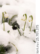 Купить «Первые весенние цветы. Подснежники, распустившийся под снегом», эксклюзивное фото № 25701375, снято 19 февраля 2018 г. (c) Svet / Фотобанк Лори