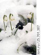 Купить «Первые весенние цветы. Подснежники, распустившиеся под снегом, фокус на цветах», эксклюзивное фото № 25701387, снято 20 февраля 2018 г. (c) Svet / Фотобанк Лори