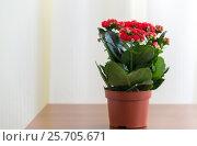Купить «Red flowering Kalanchoe in pot», фото № 25705671, снято 4 марта 2017 г. (c) Володина Ольга / Фотобанк Лори