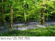 Весенние колокольчики весной, фото № 25707703, снято 13 мая 2016 г. (c) Татьяна Кахилл / Фотобанк Лори