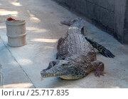 Нильский крокодил в вольере (lat. -  Crocodylus niloticus) Стоковое фото, фотограф Irina Opachevsky / Фотобанк Лори