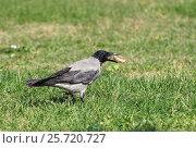 Купить «Серая ворона стоит на газоне держит пряник в клюве», эксклюзивное фото № 25720727, снято 30 сентября 2016 г. (c) Dmitry29 / Фотобанк Лори