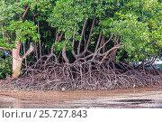 Купить «Мангровые заросли во время отлива. Королевство Таиланд. Провинция Краби, полуостров Рейли, пляж Railay East Beach», фото № 25727843, снято 30 января 2017 г. (c) Владимир Сергеев / Фотобанк Лори